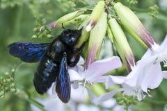 Blauwe houtbij - Xylocopa Stock Foto's