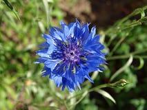 Blauwe bloem. stock fotografie