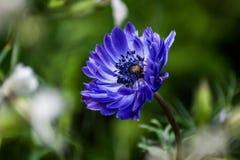 Blauwe Bloem stock afbeelding