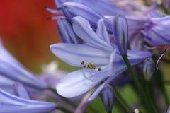 Blauwe Bloem Royalty-vrije Stock Fotografie