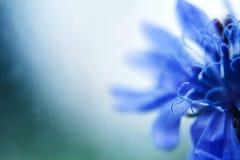 Blauwe Bloem cornflower Lege ruimte voor een tekst stock afbeeldingen