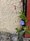 Blauwe bloem die tussen de muur en de metaaldeur groeit royalty-vrije stock afbeeldingen