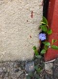 Blauwe bloem die tussen de muur en de metaaldeur groeit royalty-vrije stock afbeelding