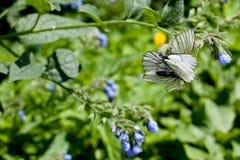 Blauwe bloem en witte vlinders op groen Royalty-vrije Stock Fotografie