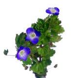 Blauwe bloem germander ereprijs Royalty-vrije Stock Foto's