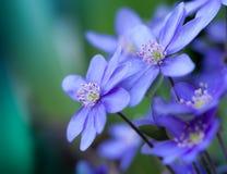 Blauwe bloem, hepatica Stock Foto