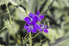 Blauwe bloem met gele helmknoppen Royalty-vrije Stock Afbeelding
