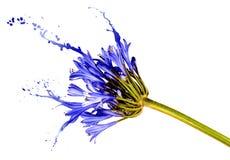 Blauwe bloem met plonsen Stock Foto