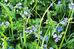 Blauwe bloem op een gebied Stock Foto's