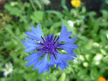 Blauwe bloem op groene achtergrond cornflower royalty-vrije stock foto
