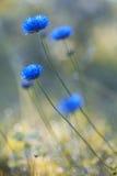 Blauwe bloem op het gebied Royalty-vrije Stock Fotografie