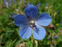 Blauwe bloem op het gebied, macro stock fotografie