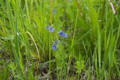 Blauwe bloem van korenbloem Stock Foto