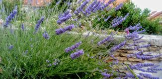 Blauwe bloem van lavendel royalty-vrije stock foto's