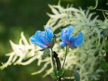 Blauwe bloem van Meconopsis Vestingmuur, Papaveraceae royalty-vrije stock fotografie