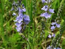 Blauwe bloem Veronica chamaedrys royalty-vrije stock foto
