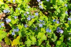 Blauwe bloem Veronica Oakwood in een opheldering in het hout Mooie achtergrond royalty-vrije stock fotografie