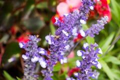 Blauwe Bloemcluster Royalty-vrije Stock Foto