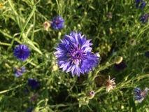 Blauwe Bloemen Royalty-vrije Stock Afbeelding