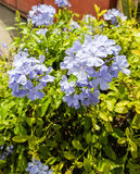Blauwe Bloemen Stock Foto