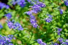Blauwe bloemen in bloesem op een zonnige dag, vage achtergrond geen mensen stock afbeelding