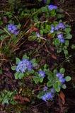 Blauwe Bloemen Bos op de trekkingsroute aan Annapurna nepal stock foto