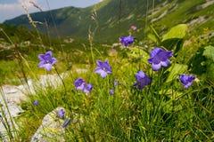 Blauwe Bloemen in de Bergen Stock Foto