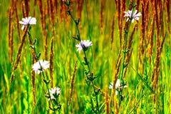 Blauwe bloemen in de gouden zonsondergang van licht Achtergrondafbeelding van wildflowers op een de zomergebied Close-up stock afbeeldingen