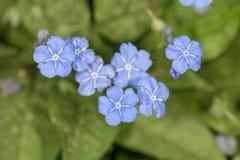 Blauwe bloemen in de lente Royalty-vrije Stock Fotografie