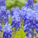 Blauwe bloemen in de tuinmacro stock foto