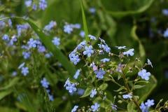 blauwe bloemen in de zomer royalty-vrije stock foto
