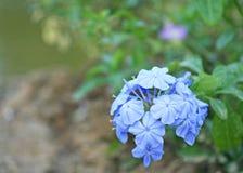 Blauwe bloemen die, Grafietauriculata bloeien stock foto's