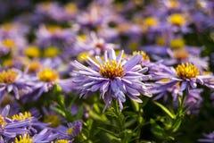 Blauwe bloemen in een weide Royalty-vrije Stock Foto's