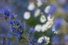 Blauwe bloemen en kamille stock foto