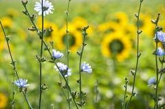 Blauwe bloemen en Zonnebloemen Stock Foto