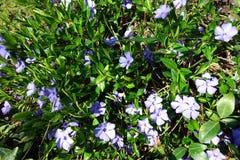 Blauwe bloemen in gras Stock Fotografie