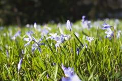 Blauwe bloemen in het gras Royalty-vrije Stock Afbeelding