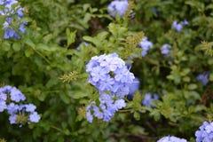 Blauwe bloemen - Hydrangea hortensia stock foto's