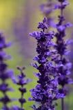 Blauwe bloemen met bloorachtergrond Stock Afbeeldingen