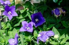 Blauwe bloemen met groene bladeren stock fotografie