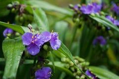 Blauwe bloemen met waterdrops Royalty-vrije Stock Afbeelding