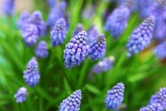 Blauwe bloemen Muscari in de lente stock foto's
