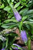 Blauwe bloemen in Serre Royalty-vrije Stock Afbeeldingen