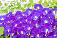 Blauwe bloemen, stapel van Vlindererwt Stock Foto