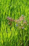 Blauwe bloemen van Borageinstallaties die onder een gebied van heldergroene tarwe groeien royalty-vrije stock foto