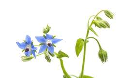 Blauwe bloemen van geïsoleerde borage stock foto