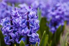 Blauwe bloemen van Hyacint Royalty-vrije Stock Foto