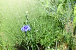 Blauwe bloemen van korenbloemen royalty-vrije stock afbeeldingen