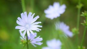 Blauwe bloemen van witlof op het gebied stock footage