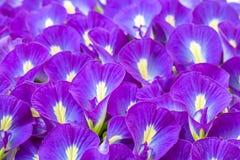 Blauwe bloemenachtergrond, Vlindererwt Royalty-vrije Stock Afbeelding